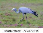 blue crane walking in a field
