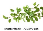 Branch Of Pear Tree On White...