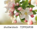 Apple Blossom  Apple Tree In...