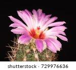 Bright Lilac Cactus Flower Ove...