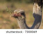 Close Up Of An Ostrich Feeding...