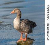 Greylag Goose  Anser Anse...