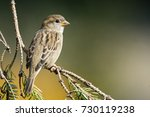 Small photo of young house sparrow