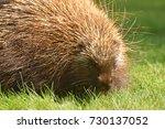 porcupine close up  canada  | Shutterstock . vector #730137052