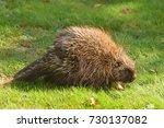 porcupine close up  canada  | Shutterstock . vector #730137082