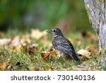 juvenile american robin in... | Shutterstock . vector #730140136