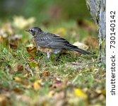 juvenile american robin in... | Shutterstock . vector #730140142