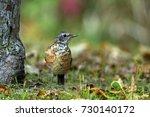 juvenile american robin in... | Shutterstock . vector #730140172