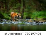 amur tiger walking in the river.... | Shutterstock . vector #730197406