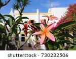 pink frangipani flower in a... | Shutterstock . vector #730232506