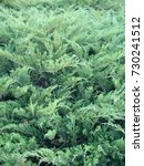 natural old christmas tree wood ... | Shutterstock . vector #730241512