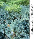 natural old christmas tree wood ... | Shutterstock . vector #730241542