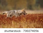 the running wolf is stinging... | Shutterstock . vector #730274056