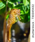 Small photo of The Pacific Seahorse (Hippocampus ingens), inhabits the pacific coast from Baja California to Peru as well as the Galapagos Islands. There is also a transient population in San Diego.