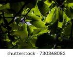 sweet scented osmanthus  | Shutterstock . vector #730368082