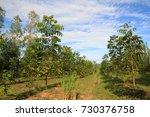 beautiful blue sky and mahogany ... | Shutterstock . vector #730376758