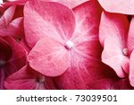 Detail Of Pink Hortensia Petal...