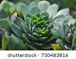 sempervivum tectorum common... | Shutterstock . vector #730483816