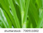 napier grass background | Shutterstock . vector #730511002
