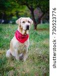 yellow labrador retriever   Shutterstock . vector #730523776