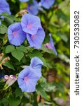 image of morning glory  ipomoea ... | Shutterstock . vector #730533082