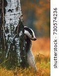 european badger   meles meles   ... | Shutterstock . vector #730574236