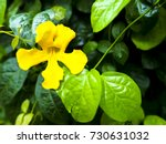 cat's claw flower. | Shutterstock . vector #730631032