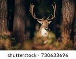 fallow deer buck  dama dama ... | Shutterstock . vector #730633696