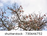 apple tree without leaves and... | Shutterstock . vector #730646752