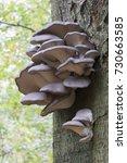oyster mushroom  pleurotus... | Shutterstock . vector #730663585