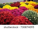 Multicolored Mums  Autumn...