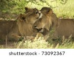 Lions Kissing Each Other In Th...