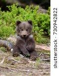 Wild Brown Bear Cub Close Up