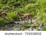 Chamois French Alps