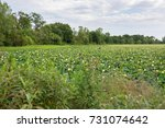 Small photo of American lotus in a marsh in Missouri.