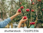 a woman hand picking a red ripe ... | Shutterstock . vector #731091556