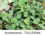 calathea  in the garden. | Shutterstock . vector #731125066