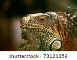 Big Lizard Iguana Looking Into...