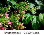 quisqualis indica   combretum... | Shutterstock . vector #731249356