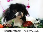 dog  japanese chin dog on... | Shutterstock . vector #731297866