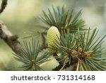 Cone Of A Cedar Of Lebanon ...