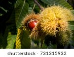 Chestnuts In Chestnut Bur....