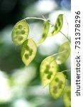 Small photo of Honesty bokeh Honesty ( Lunaria ) seeds on a blurry background. Flanders, Belgium.