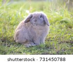 Holland Lop Rabbit On The Gree...