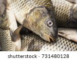fisherman's catch fresh fish | Shutterstock . vector #731480128
