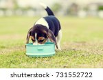 Stock photo little beagle eating feed in dog bowl 731552722