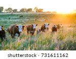 Nebraska Hereford Cattle at Sunset