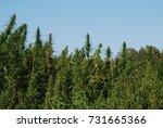 russia  siberia. wild hemp... | Shutterstock . vector #731665366