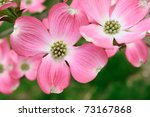 Pink Flowering Dogwood Flower...