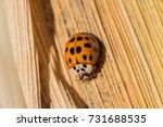 asian lady beetle on a corn...   Shutterstock . vector #731688535
